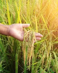खरीफ फसलों की देखभाल