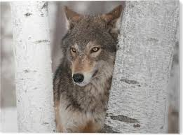Grey Wolf Canis Lupus Ears Back Between Trees Sticker Pixers We Live To Change