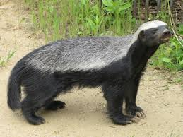 honey badgers don t care