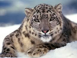 big cat color predator snow leopard