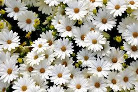الورد الابيض في المنام للعزباء من الاحلام الغريبة الجميله