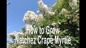 How to grow Natchez Crape Myrtle (White Flowering Crape Myrtle ...