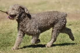 Spanischer Wasserhund Charakter, Haltung & Pflege