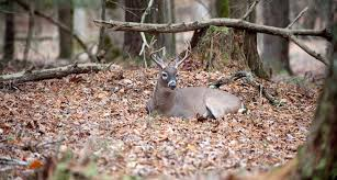 steps to creating deer bedding areas
