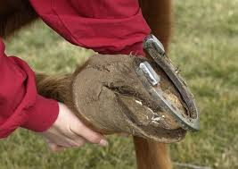 emergency horse shoe removal the horse