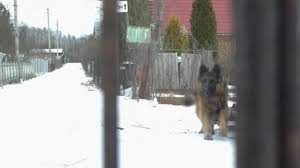 Guard German Shepherd Dog Barks Fence Stock Video C Romanrozin 336167492