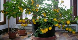 indoor fruit plants to add freshness