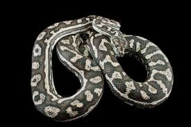 a beginner s guide to carpet pythons a