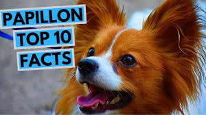Papillon - TOP 10 Interesting Facts - YouTube