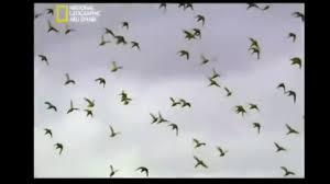 حياة البادجي بالبرية طيور الحب Youtube