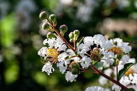 Dwarf Crape Myrtle White 5 Seeds- Longest Blooming Tree