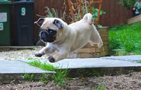 wallpaper puppy cute pug images for