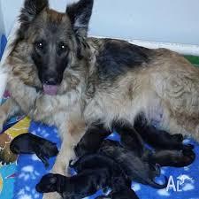 long coat german shepherd puppies for
