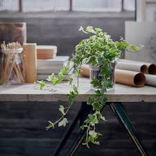 HEDERA HELIX Ivy, Potted plant - IKEA