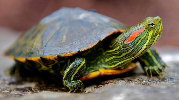 """Hasil gambar untuk kura kura brazil"""""""