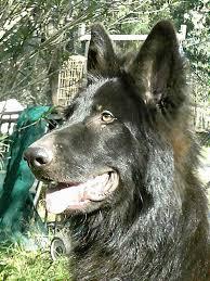 wolfonyx german shepherds