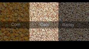 feeding oats to horses for weight gain