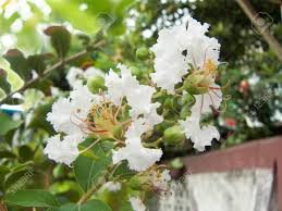 Close Up Of White Flower Crape Myrtle, Crape Flower Or Indian ...