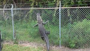 Gator Climbing Fence