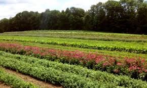 کشت گیاهان دارویی در داورزن افزایش یافت - ایرنا