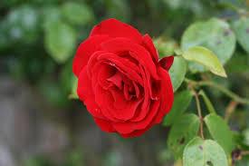 صور وردة حمراء اختارو ورده تسحركم صباح الورد