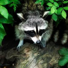 Koi Pond Predators Raccoons Next Day Koi