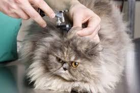 Kedilerde Kulak Enfeksiyonu Belirtileri & Nedenleri ve Tedavi ...