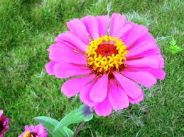 hd bunga aster sekolah