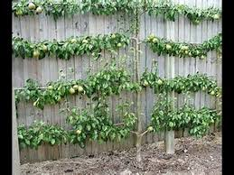 grow fruit trees in small spaces