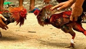 NUSABALI.com - Pejudi Dimasukkan ke Arena Sabung Ayam