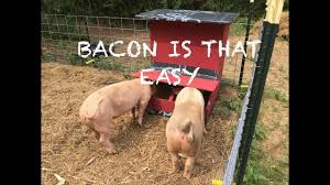 building an automatic pig feeder say