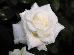 ورد ابيض جوري ياااه علي الوردة شكلها روووعة فنجان قهوة