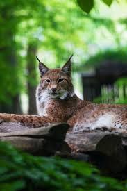 predator relaxed wild animal