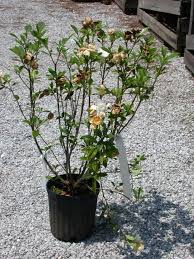 gardenia diseases other problems