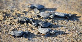 Turtles On The Comeback Trail In Cape York Ecos