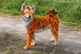Samoyed Dog Repainted On Tiger. Groomed ...