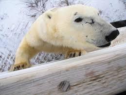 The Privilege Of Proximity To Polar Bears Magazine Articles Wwf
