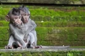 obese obese funny monkey monkey