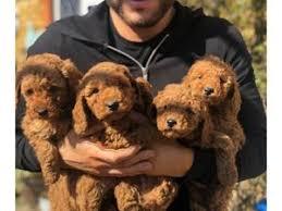 miniature poodle puppies pedigree