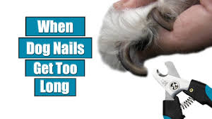 when dog nails get too long you
