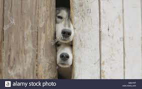 Old Dogs Looking Through A Fence Video Sad Tan And White Dog Looking Through Hole In Timber Fence Black And White Cute Dogs Looking Through Closed Gate Stock Photo Alamy