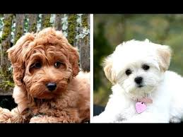 top 10 poodle mi that stay small