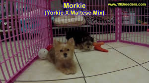 morkie puppies dogs in
