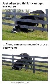Funnypictures Of A Cow Vs Bad Day Funny Pictures Funny Animals Cows Funny