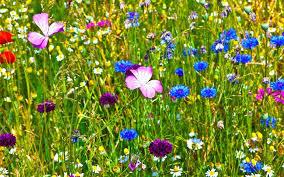 wildflower meadow in the garden