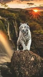 beautiful white tiger image