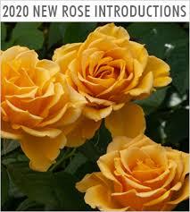 perkins live rose plants perennials