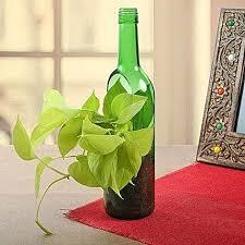 money plant in vertical green bottle