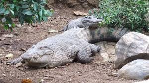 Alligators And Crocodiles Archives Koam