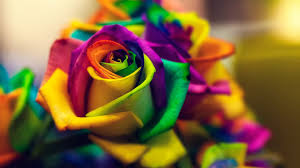 roses flowers hd wallpapers free